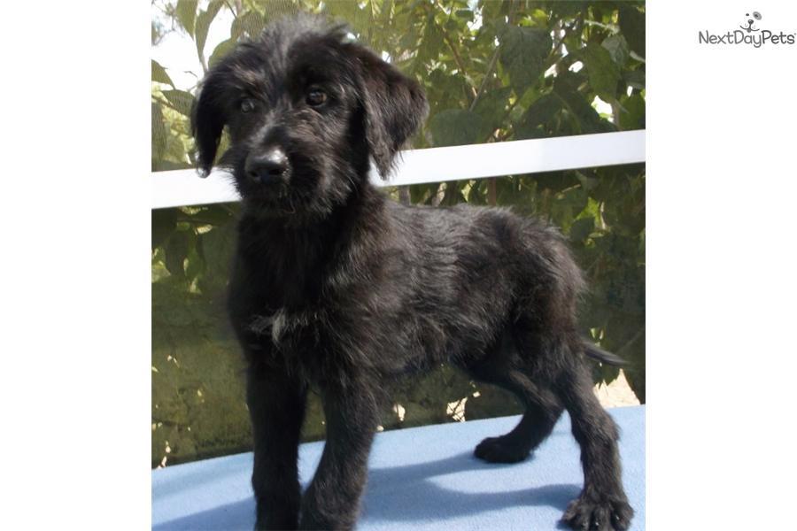 German Shepherd Puppy For Sale Near Tampa Bay Area