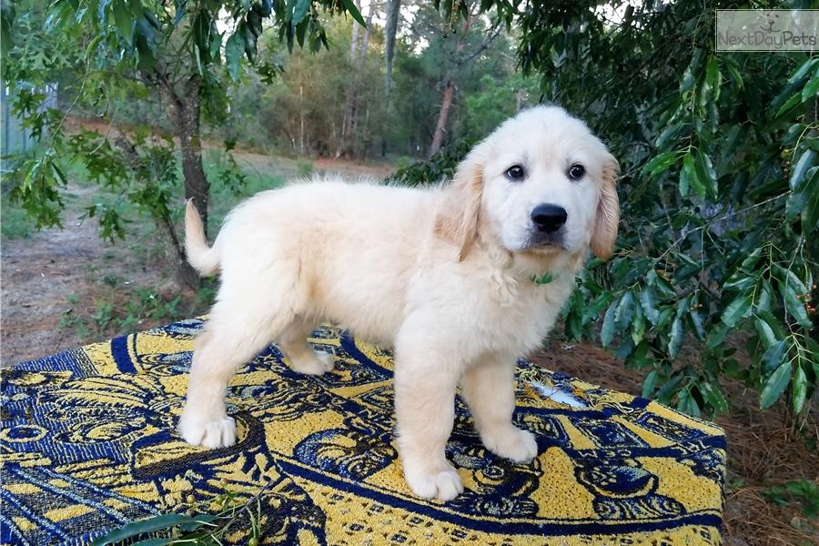 Golden Retriever Puppy For Sale Near Tampa Bay Area Florida