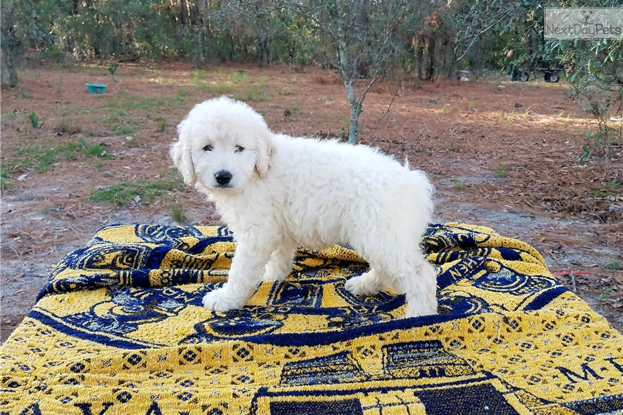 Belle Boy: Goldendoodle puppy for sale near Tampa Bay Area