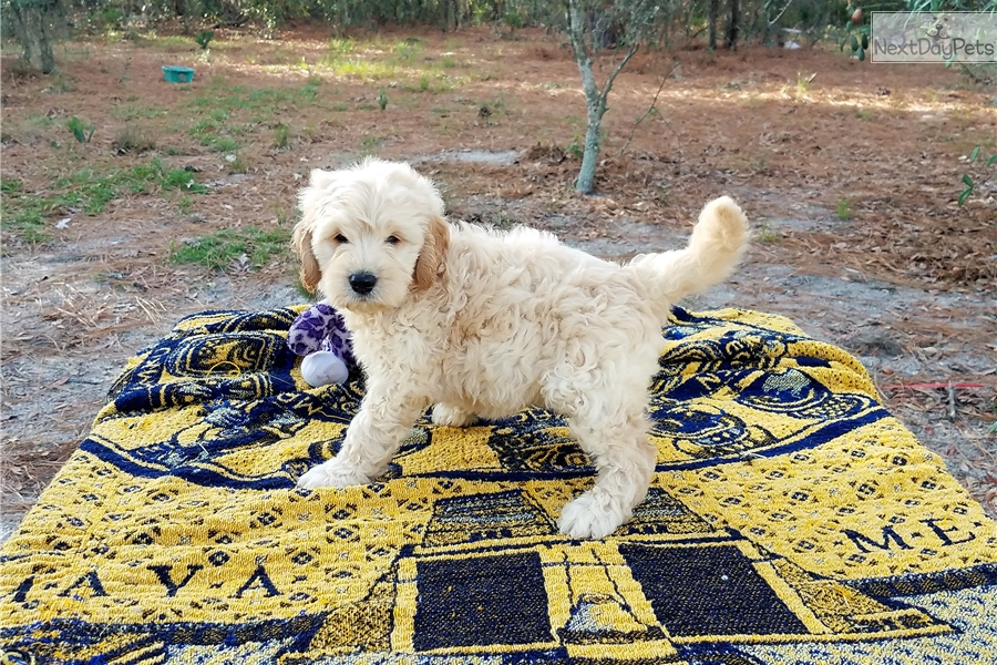 Belle Girl: Goldendoodle puppy for sale near Tampa Bay Area