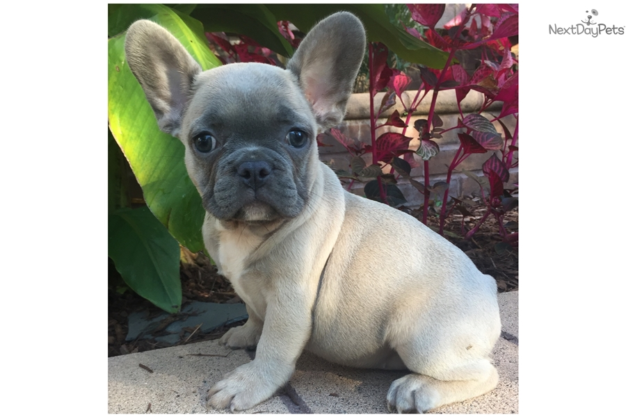 Blue Sable And Tan French Bulldog Puppy For Sale Near New