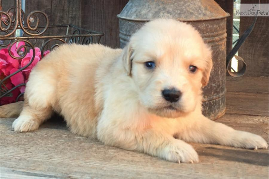 Golden retriever puppies for sale fort worth