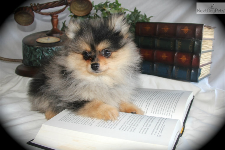 Jake Pomeranian Puppy For Sale Near Dallas Fort Worth Texas