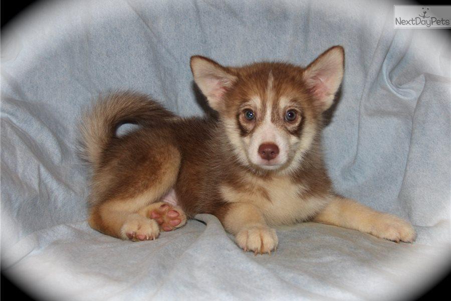 Alpine Pomsky Puppy For Sale Near Dallas Fort Worth