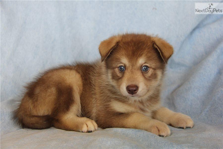 Peanut: Pomsky puppy for sale near Dallas / Fort Worth