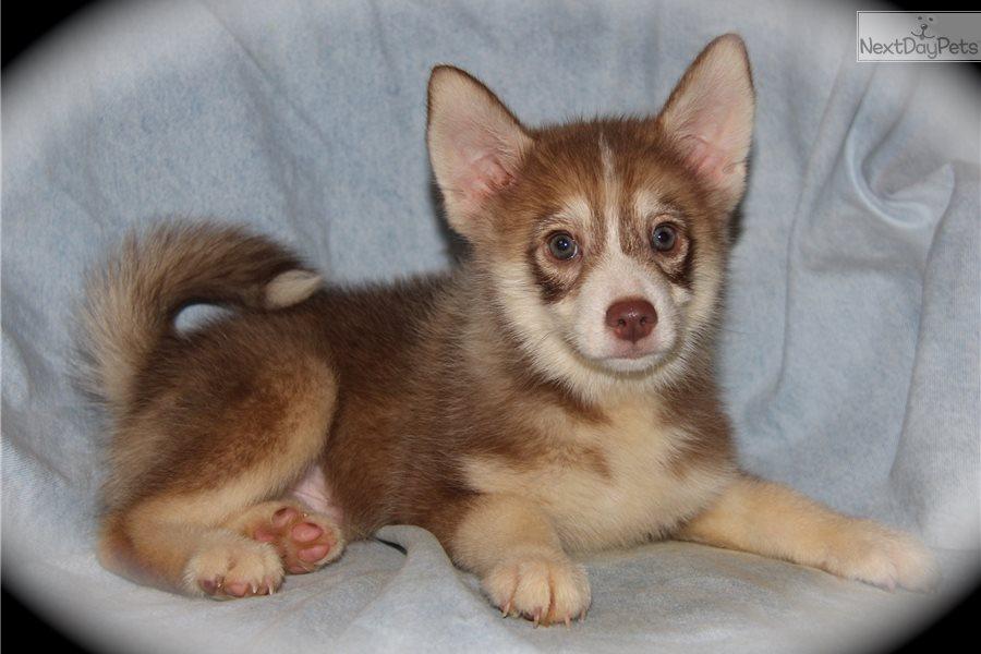 Alpine Pomsky Puppy For Sale Near Dallas Fort Worth Texas
