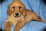 Picture of RED GOLDEN RETRIEVER 100% PURE 13