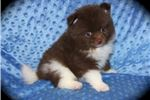 Picture of AKC CHOCOLATE WHITE PARTY POMERANIAN