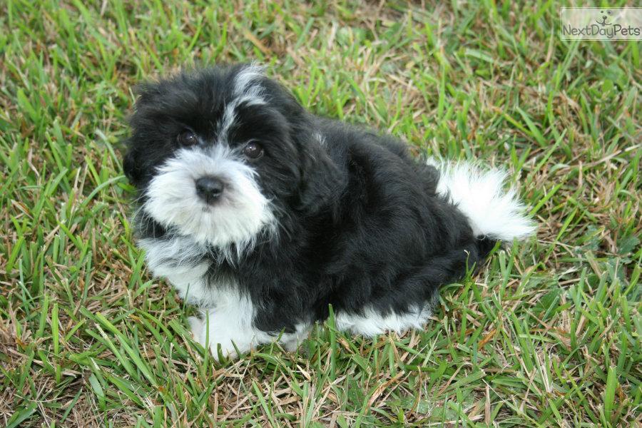 Mini Cooper For Sale Near Me >> (mini) COOPER - AKC HAVANESE | Havanese puppy for sale ...
