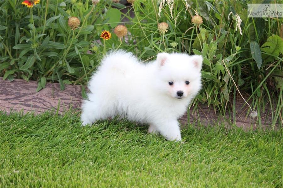 American Eskimo Dog Puppy For Sale Near Provo Orem Utah