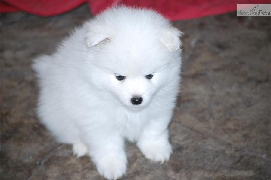 Meet Female A Cute American Eskimo Dog Puppy For Sale For 1 200 Mr Blue Toy