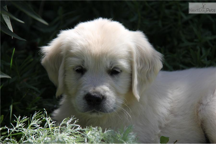 Picture of an English Golden Retriever