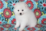 Picture of UKC Champion toy female American Eskimo/Ms.White