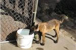 Picture of Belgian Malinois Puppy
