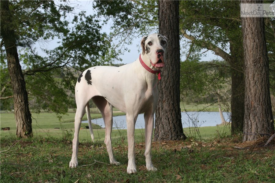 Angelica: Great Dane puppy for - 166.4KB