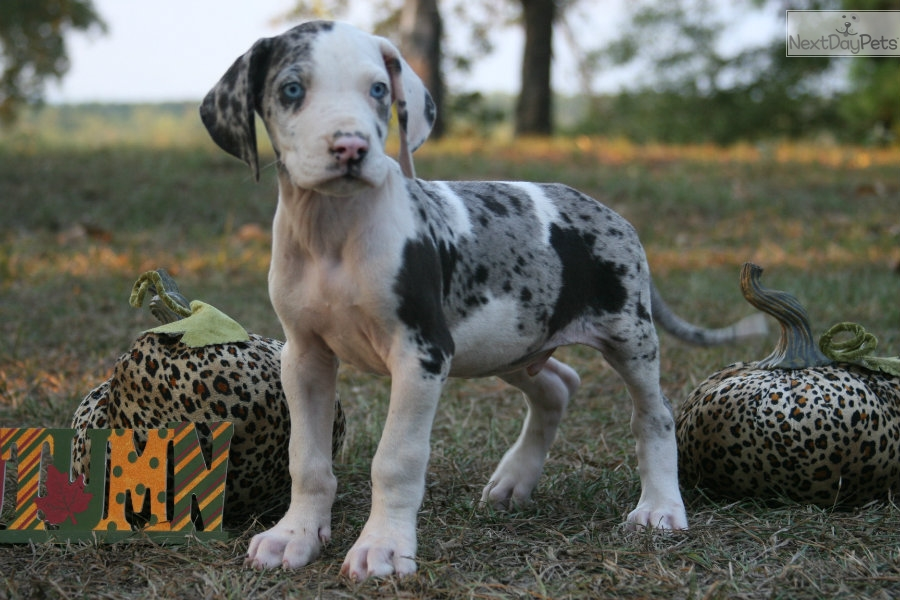 Brock: Great Dane puppy for sale near Houston, Texas ...