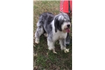 Picture of Adult female Bearded Collie
