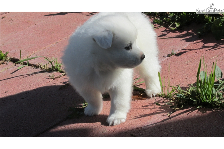 American Eskimo Dog Puppy For Sale Near Denver Colorado
