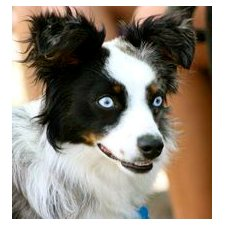 View full profile for Peachstone's Toy Aussies