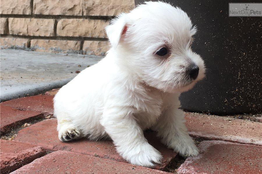 Dickens : West Highland White Terrier - Westie puppy for sale near Kansas USA