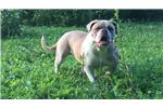 Picture of Fawn merle- v1 IntCh Sire( parents health tested)