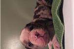 Alapaha Blue Blood Bulldog for sale