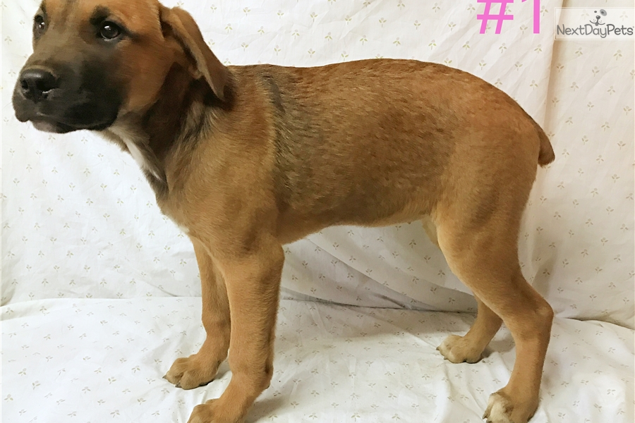 Cobalt Girls Canis Panther Puppy For Sale Near Fresno Madera