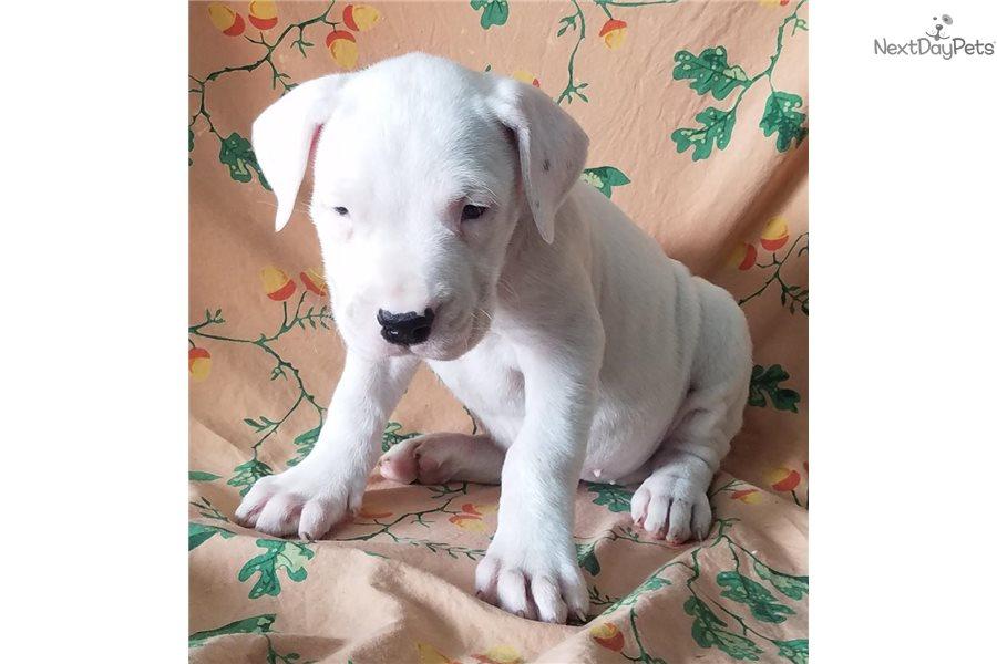 Mancha Pup: Dogo Argentino puppy for sale near Fresno ...