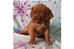 Picture of an American Bandogge Mastiff Puppy