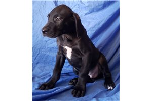 Canis Panthers for sale