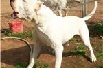 Picture of Dados Male pups Morochox2