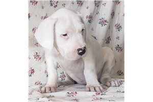 Dogo Argentinos for sale
