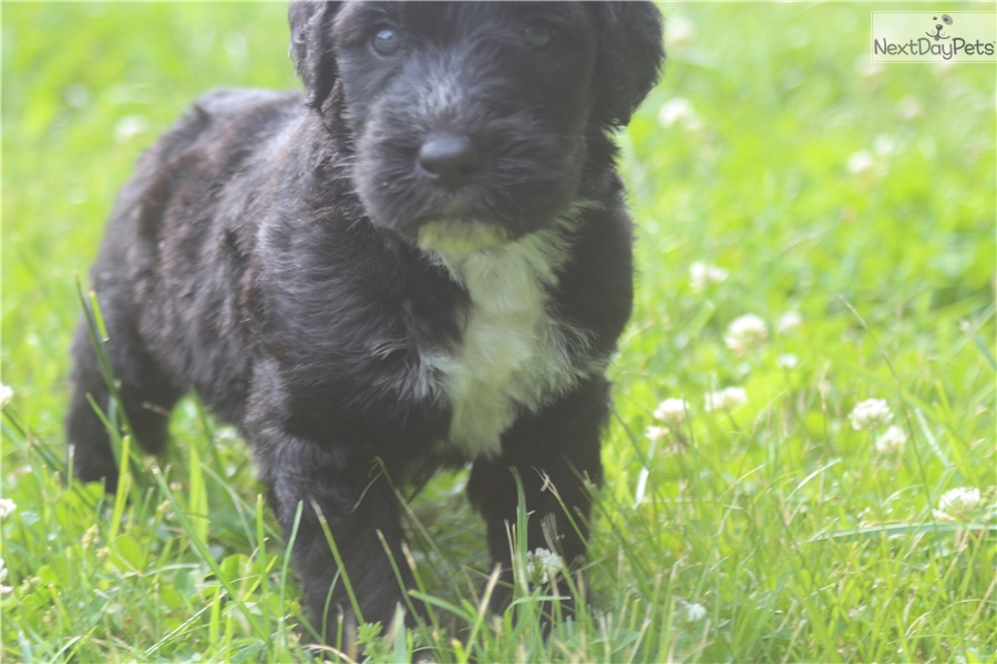Male C: Sheepadoodle puppy for sale near Chattanooga