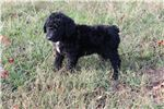 Picture of Male F - F1B Sheepadoodle