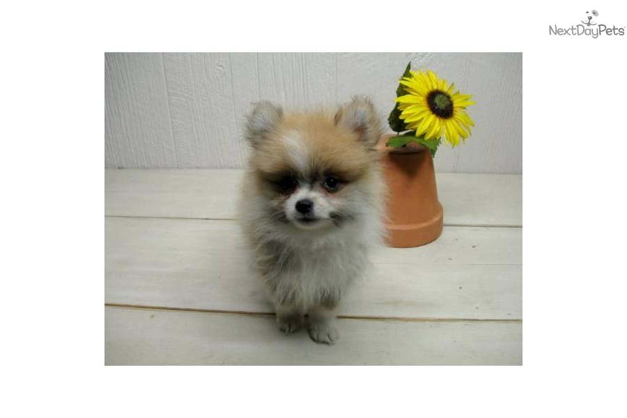 party pomeranian puppies for sale meet pip a cute pomeranian puppy for sale for 450 pip 8112
