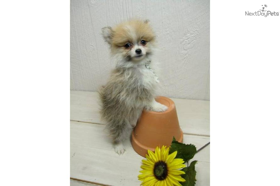 party pomeranian puppies for sale meet pip a cute pomeranian puppy for sale for 450 pip 2970