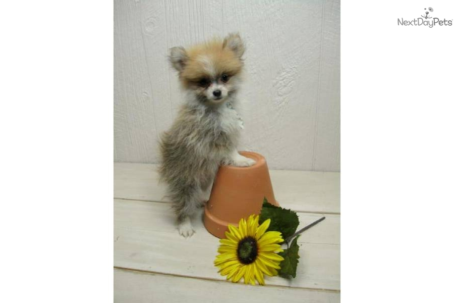 party pomeranian puppies for sale meet pip a cute pomeranian puppy for sale for 450 pip 5380