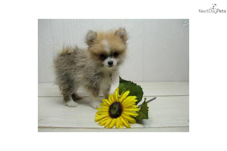 party pomeranian puppies for sale pomeranian puppy for sale near lake of the ozarks 5170