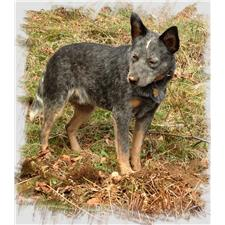View full profile for Moore Cattle Dogs