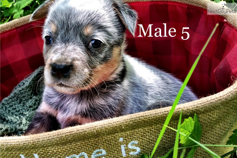 Male 5 Australian Cattle Dogblue Heeler Puppy For Sale Near