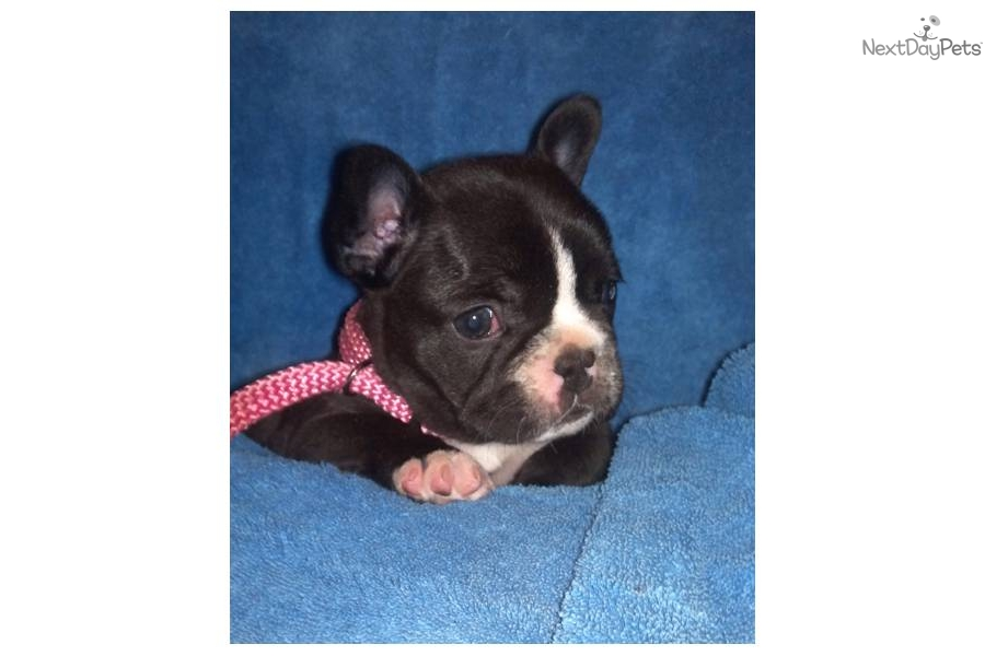 french bulldog puppies for sale in wisconsin french bulldog puppy for sale near la crosse wisconsin 1449