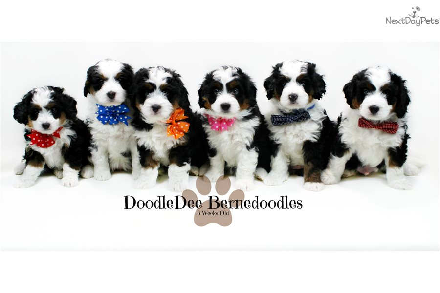 F1 Bernedoodles Bernese Mountain Dog Puppy For Sale Near