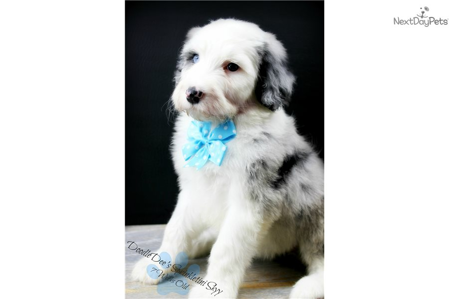 Doodledee: Sheepadoodle puppy for sale near Chicago, Illinois