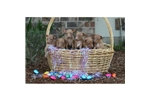 Picture of Easter Puppies Arrived!