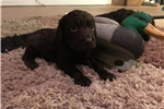 Picture of Female boykin spaniel puppy