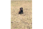 Picture of a Boykin Spaniel Puppy