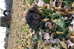 Picture of Boykin spaniel male puppy