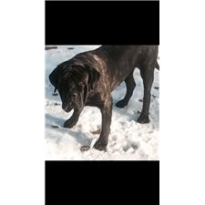 View full profile for De Luz Mastiffs