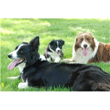 View full profile for Davidson Border Collies