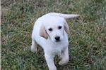Picture of Beautiful almost white Goldadors (Golden/lab)